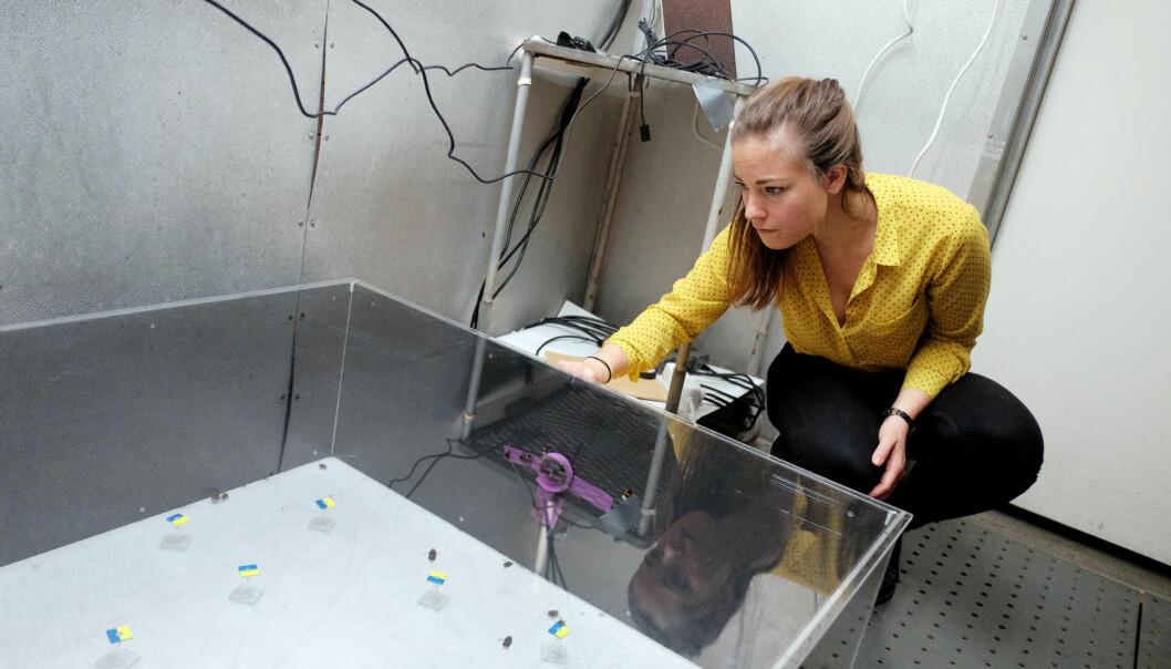Masterstudent Julie Sørlie Paus-Knudsen skal forske på humlers reaksjon på sprøytemidler. Foto: KetilBlom