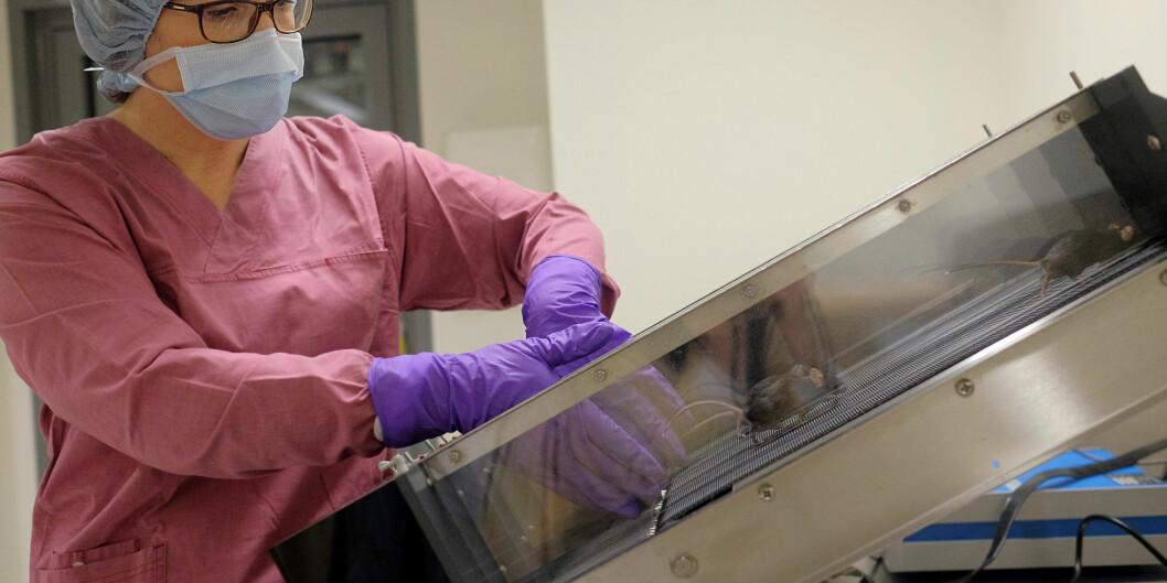 HiOA-forsker Cecilie Morland trener mus for å finne mer ut av betydningen av treningen før og etter et eventuelthjerneslag. Foto: Ketil Blom Haugstulen
