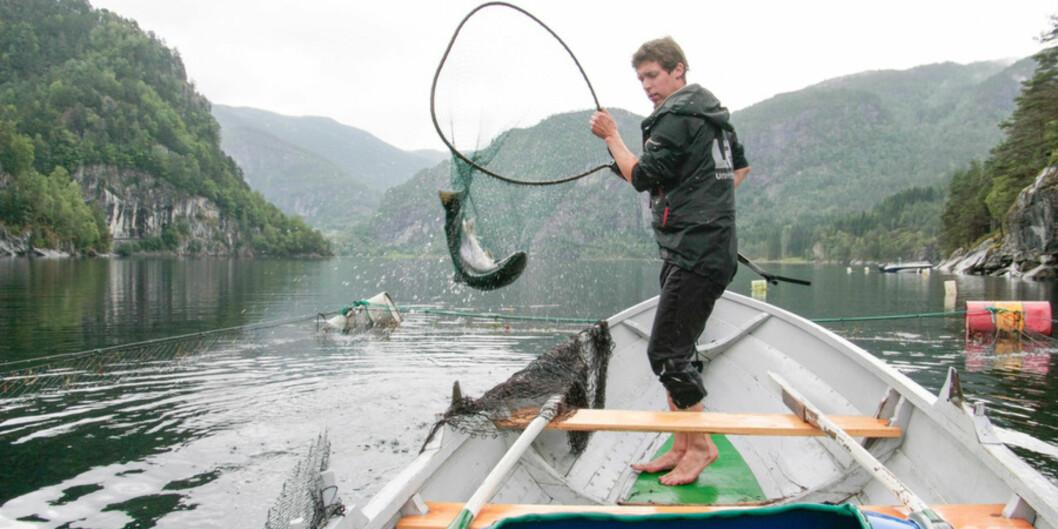 Miljø er et av feltene både Norce og Norut driver med. Her sjekker Eirik Straume Normann laks for lus. Bildet ble tatt mens selskapet het Uni Research. Foto: Dag Hellesund