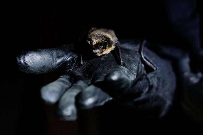 Denne flaggermusen er av rasen nordflaggermus. SCANDBAT ønsker hovedsakelig å forske på skjeggflaggermus og skogflaggermus.