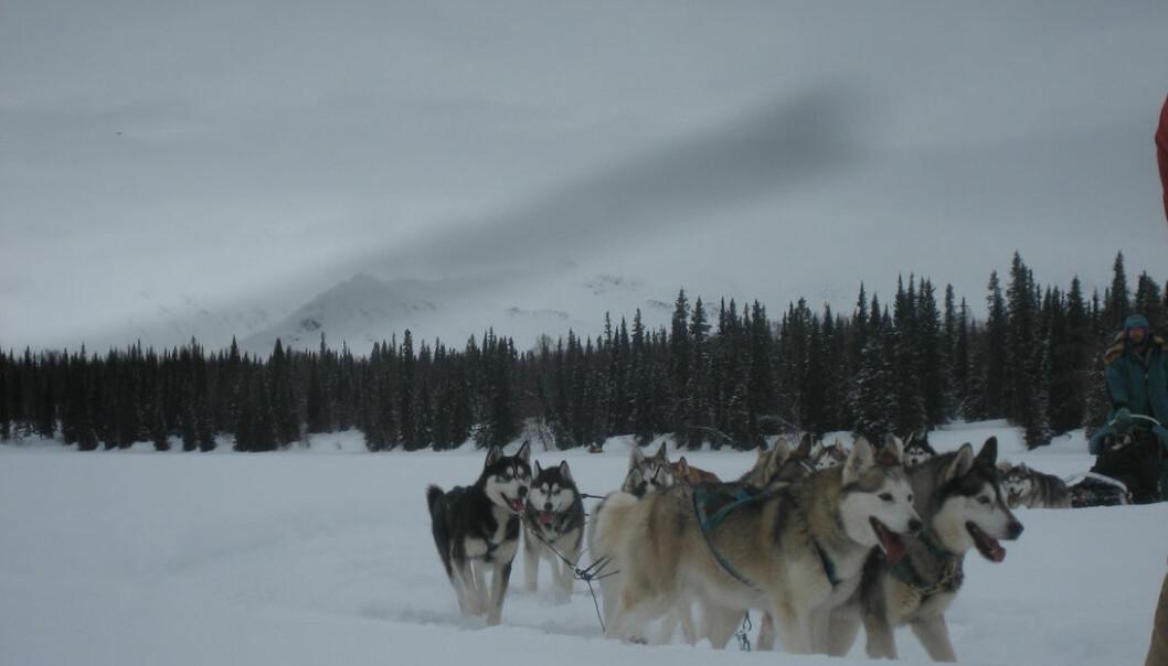 Iditarod. Foto: David Weekly/Flickr