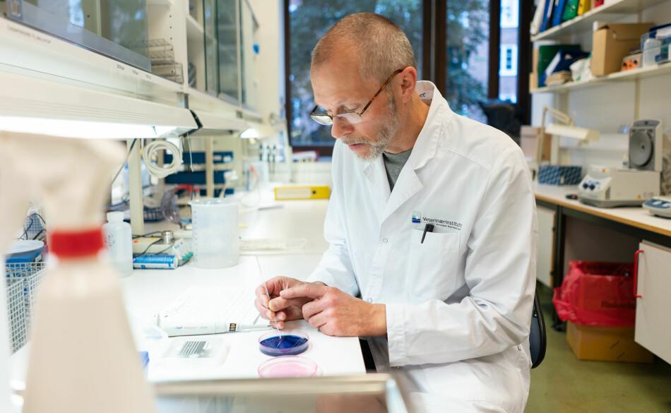 Seniorforskar og lab-leiar, Bjarne Bergsjø, undersøker ei tarmprøve frå ein av dei obduserte hundane. På dette brettet ligg bakterien <i>Providencia alcalifaciens. </i>Foto: Ketil Blom Haugstulen.
