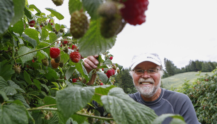 Historiker og bringebærbonde Roy Andersen ansetter studenter på gården sin denne sesongen også.