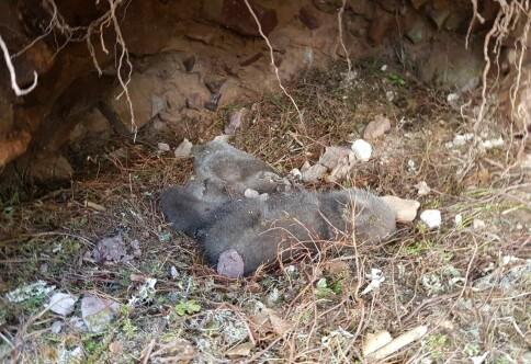 Vil gi to døde bjørnunger nytt «liv» på Evenstad