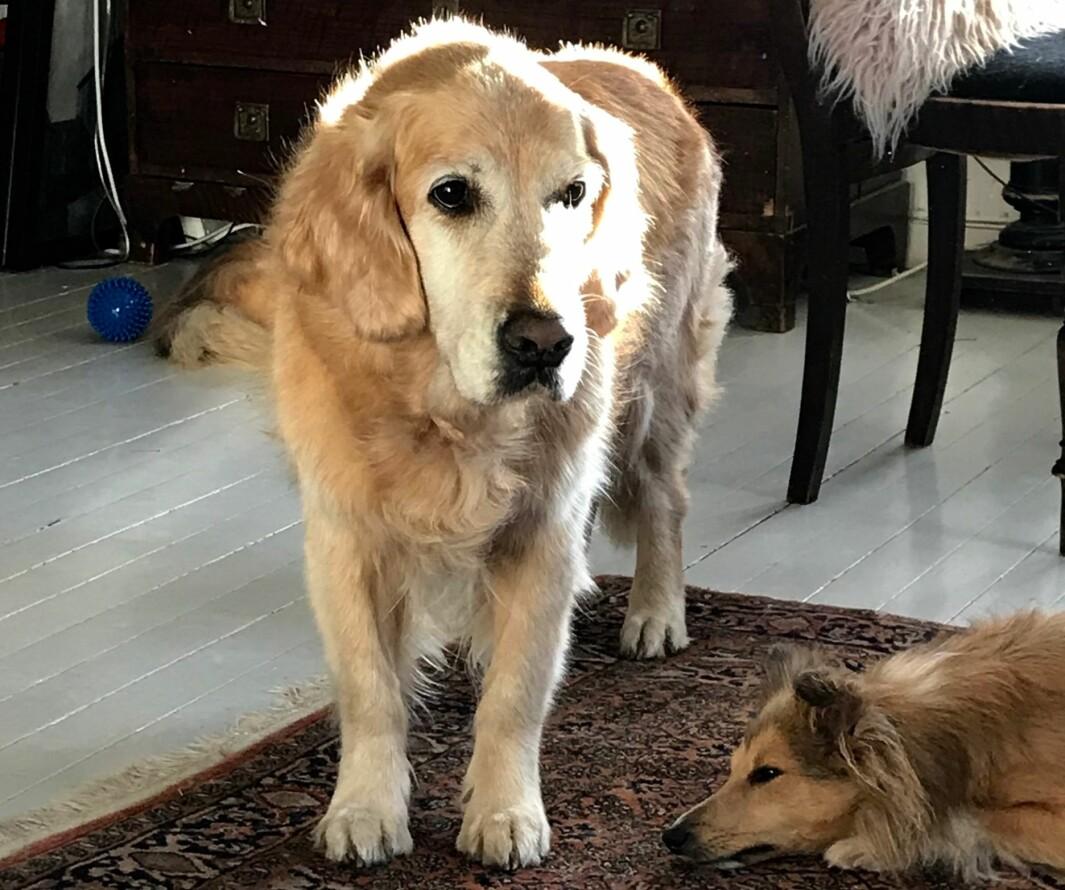 Golden retrieveren Alphi få uker før hun ble avlivet grunnet alvorlig kreft. (Alphi er journalist Eva Tønnessen sin egen hund).