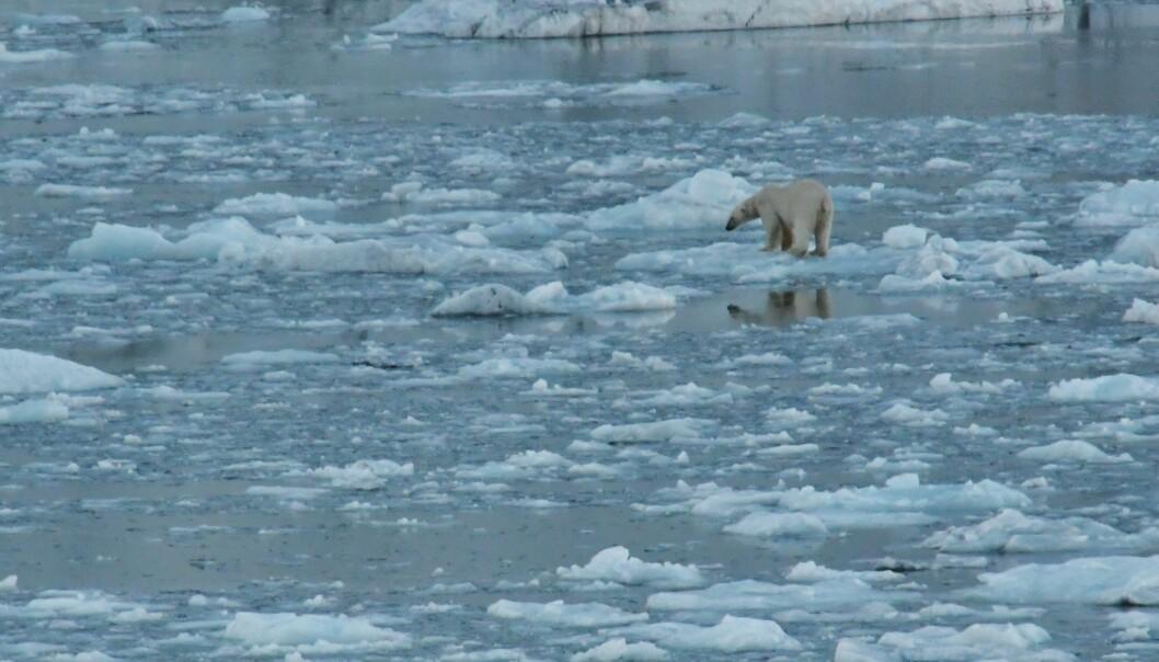På Svalbard har Einang treft både fjellrev og denne karen her.