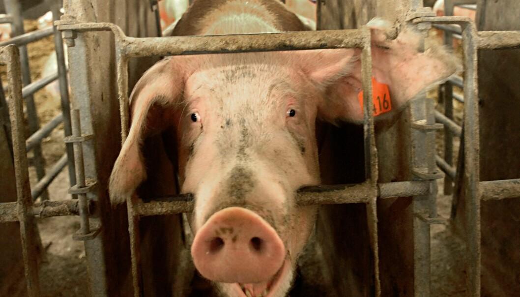 Det er godt dokumentert at dyrene i kjøttproduksjonen påføres enorme lidelser, skriver Piotr Garbacz i sin oppfordring til landets universiteter og høgskoler om å gå over til et utelukkende vegansk mattilbud.