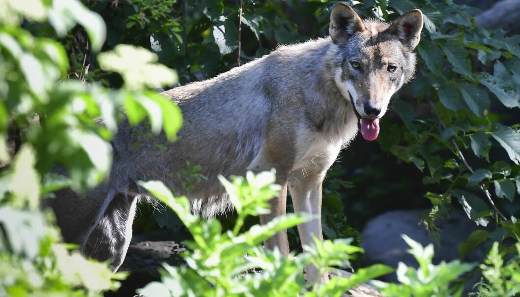 Ulven er blant rovdyrene forskningsgruppen ved Høgskolen i Innlandet forsker mye på.
