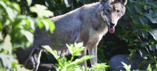 Lav tillit til forskning på ulv og andre rovdyr: — Folk har sterke meninger
