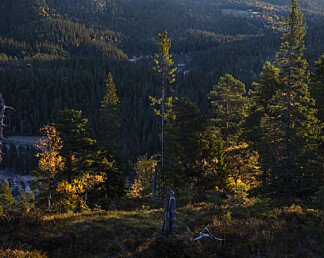 Skal prøve å berge den skandinaviske barskogen